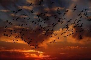 Envolée d'oiseaux au crépuscule